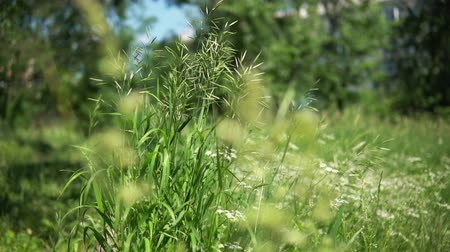 fennel : Abstract creative background of bright green grass and blooming yarrow in a sunny day on a meadow. Stock Footage