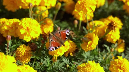 motyl : Close-up of european peacock butterfly (Inachis io) collecting nectar on marigolds, slow motion.