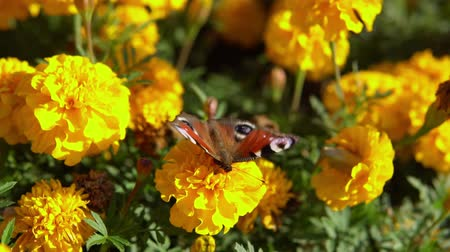 probóscide : Close-up of european peacock butterfly (Inachis io) collecting nectar on yellow marigolds, slow motion. Vídeos