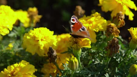 ornamento floral : Close-up of european peacock butterfly (Inachis io) collecting nectar on marigolds, slow motion.