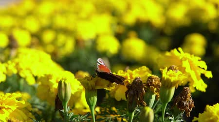 paw : Close-up of european peacock butterfly (Inachis io) collecting nectar on yellow marigolds, slow motion. Wideo