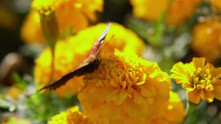 pulkanatlılar : Close-up of european peacock butterfly (Inachis io) collecting nectar on yellow marigolds, slow motion. Stok Video