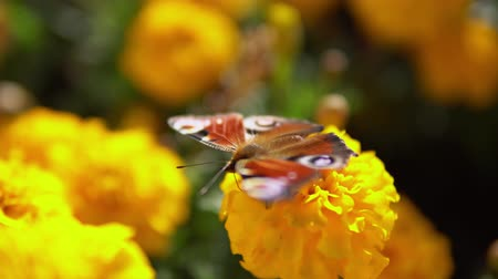 ornamento floral : Macro of european peacock butterfly (Inachis io) collecting nectar on yellow flowers marigolds.