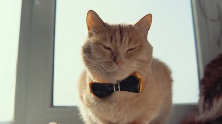 red tie : Peachy cute kitten with a black bow tie is sitting on the windowsill. Pleased home pet closed his eyes.