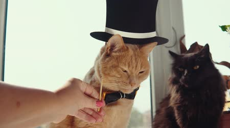 mascarada : Two cats with peach and black hair sit on the windowsill. The hand holds a dark hat over the redheaded a cute kitten wearing a bow tie. Archivo de Video