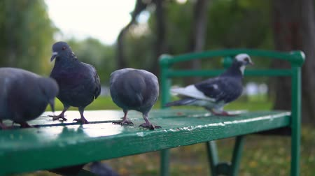 kabuksuz tahıl : City pigeons eat yellow millet sitting on a green bench in the park in the autumn afternoon, slow-motion shooting. Stok Video