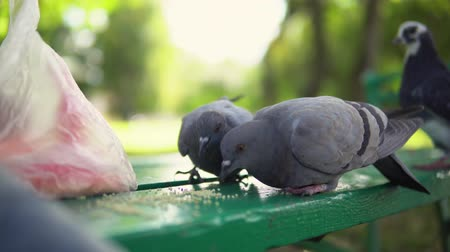 hejno : City pigeons eat yellow millet sitting on a green bench in the park in the autumn afternoon, close up shooting.