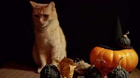 slider shot : A little peach cat sits next to a red pumpkin and small warty gourds among the leaves on a black background.