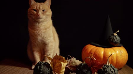 kalebas : A little peach cat sits next to a red pumpkin and small warty gourds among the leaves on a black background, slider dolly shot. Stockvideo