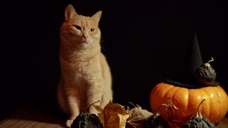 kalebas : A little peach cat sits next to a red pumpkin and small warty gourds among the leaves on a black background.