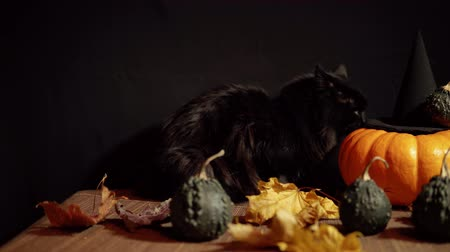 kalebas : A dark cat sits next to a red pumpkin and small warty gourds among the leaves on a black background, slider dolly shot.