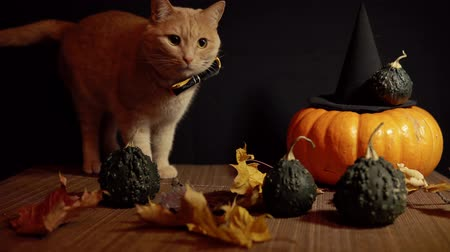 red tie : A small peach cat in a bow tie sits next to a red pumpkin and small pumpkins with warts among the leaves against a black background.