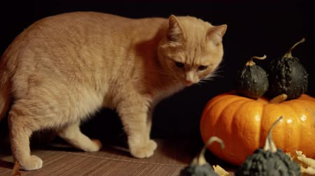 kalebas : A small peach cat next to a red pumpkin on a black background, slider dolly shot.
