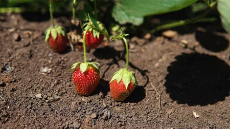 ripen : Red strawberries ripen on plantations on the outdoor, camera movement from left to right.
