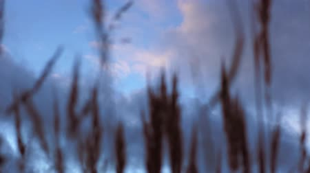 blurring : Golden ears of dry grass swaying in the wind against the sky, in the autumn evening.
