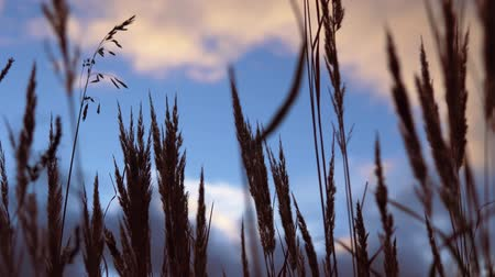 dry stalks : Golden ears of dry grass swaying in the wind against the sky, in the autumn evening.