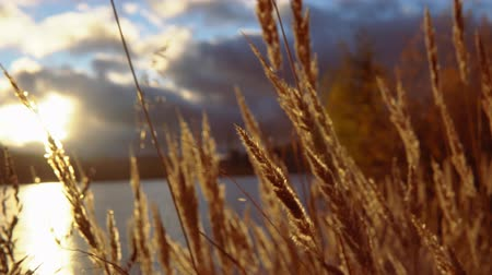 sazlık : Sunset Through the Coastal grass. Grass swaying in wind. Wind blowing in the dry plants in front of sunset sky. Stok Video