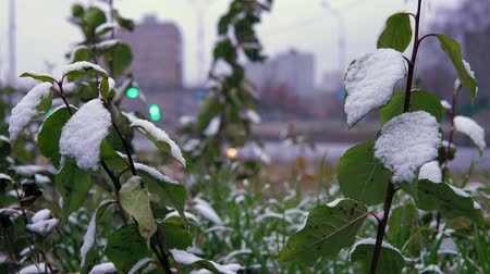 meteorologia : Early cold, white snow on green leaves and grass on the background of the highway. Blurred cars drive carefully on a wet road with lighted headlights.