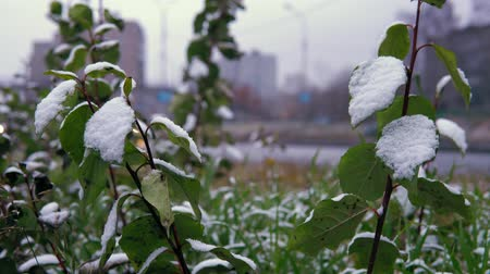 snow on grass : Early cold, white snow on green leaves and grass on the background of the highway. Blurred cars drive carefully on a wet road with lighted headlights.