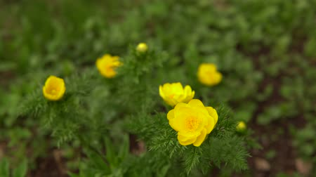 fragilidade : Blooming yellow flowers Adonis spring in nature.The camera moves around the plant, the background is blurred. Stock Footage