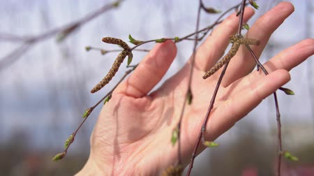 csúszás : Camera follows close-up of female hand touches green tender leaves and catkins on birch on warm spring day.