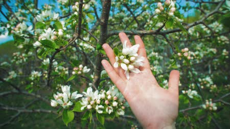 csúszás : Close-ups of female hand touches white blossoms on apple tree on warm spring day in fruit garden.