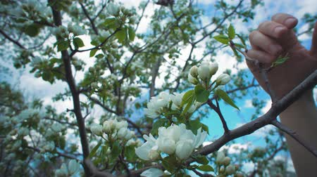 csöves virág : Camera follows close-ups of female hand touches white blossoms on apple tree on warm spring day. Through flowering branches can be seen blue sky.