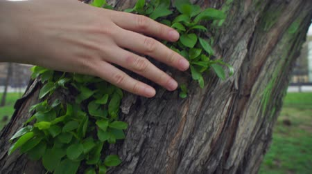 достигать : Camera follows close-up of female hand touches green young leaves on old rough apple trunk on warm spring day.