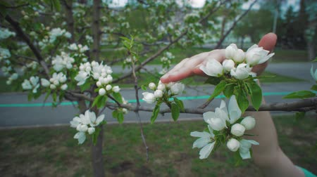 floweret : Camera follows close-ups of female hand touches white blossoms on apple tree on warm spring day.