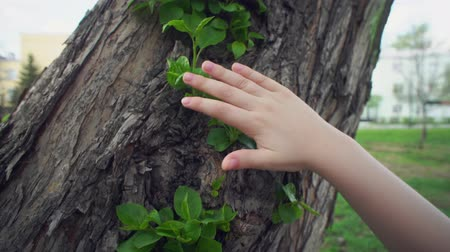 büyüme : Camera follows close-up of child hand touches green young leaves on old rough apple trunk on warm spring day. Stok Video