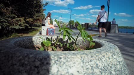 запрещенный : Little wild green cannabis grows unnoticed in gray stone flower bed against the background of blurred people having rest on embankment in city park.