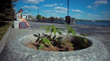 клумба : Little wild green cannabis grows unnoticed in gray stone flower bed against the background of blurred people having rest on embankment in city park.