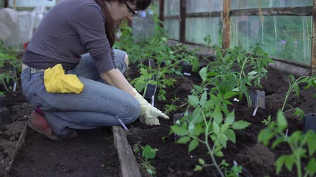 fértil : Female farmer with gloved hands planting to soil tomato seedling in greenhouse. Gardening and organic farming concept.
