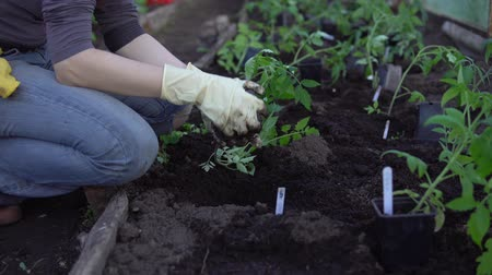деревце : Female farmer with gloved hands planting to soil tomato seedling in greenhouse. Gardening and organic farming concept.