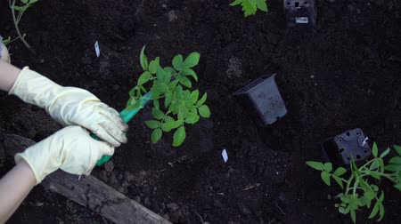 watering can : Top view of farmer with gloved hands watering seedlings tomato from watering can in greenhouse. Gardening and organic farming concept. Stock Footage