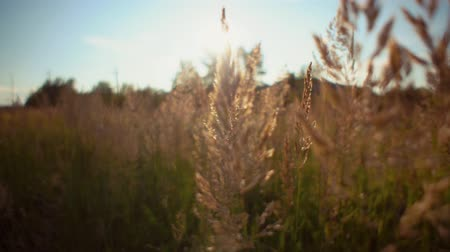 dry stalks : Handheld shot camera follows through golden dry grass on the background blue sky.Beautiful meadow with tall ripened herbs, abstract natural background with place for text. Stock Footage