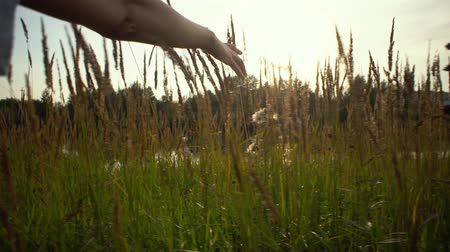 glare : A female hand touches a ripe golden ears of wild grass, the river water glistens through flowering herbs. Stock Footage