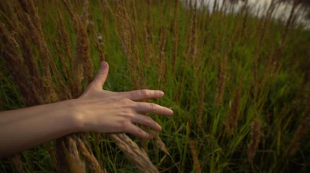 influence : Close up female hand touches ripe golden ears of wild grass in field at sunset,handheld shot.
