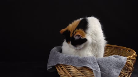 yalamak : Three-color cute pregnant fluffy cat is washing herself in a wicker basket on a black background Stok Video