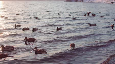kaczki : Flock of ducks swims in cold water near the icy coast. Waterfowl dive for search write under the water, the shore is covered with white snow.