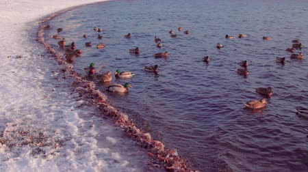 gletsjer : Flock of ducks swims in cold water near the icy coast. Waterfowl dive for search write under the water, the shore is covered with white snow.