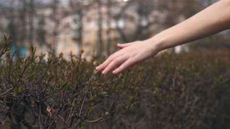 愛撫 : Camera follows close-up of female hand touches green young leaves on bush on warm spring day.