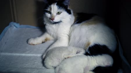 слепой : Lactating tricolor cat with two newborn kittens in a cardboard box. Feline mother guards the sleep of her little furry children. Стоковые видеозаписи
