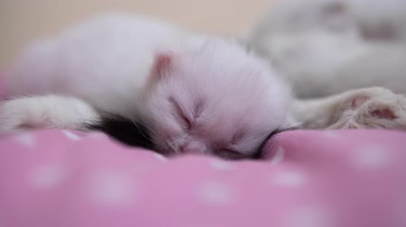 tlapky : Close-up of a small fluffy white kitten sleeping on a pink soft blanket.