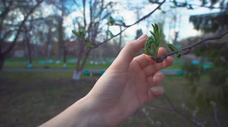 ulaşmak : Close-up female hands touch young green leaves of rowan on spring day.