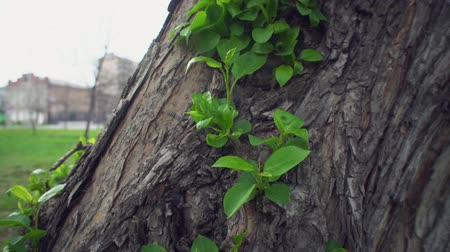 rind : The camera moves along the old rough trunk of an apple tree. Young sprouts with green tender leaves made their way through the brown bark. Stock Footage