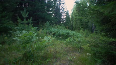 briar : Looking ahead in a mixed forest dominated by conifers, point-of-view shot next to ferns grasses and briars on summer day, woodland panorama. Stock Footage