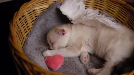 tlapky : Little cute kitten with white wings sleeps on gray blanket in a wicker basket.Shaggy cupid hugs small pink heart. Dostupné videozáznamy