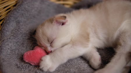 tlapky : Close up of baby cat hugging plush heart. Cute Scottish fold kitten with pink fluffy toy sleeps in gray blanket in beige wicker basket.