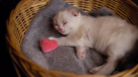 tlapky : Cute Scottish fold kitten with pink fluffy heart sleeps in gray blanket in a beige wicker basket. Small cat hugs plush toy.Concept of valentines day and love. Dostupné videozáznamy